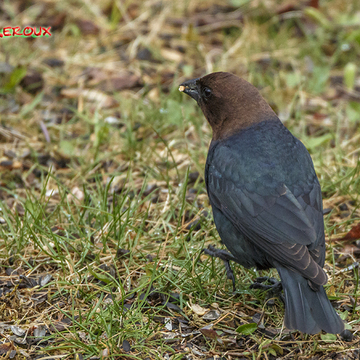 Brown head cowbird