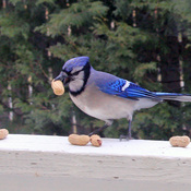 Blue jay loves peanuts!