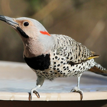 Northern Flicker(yellow-shafted)