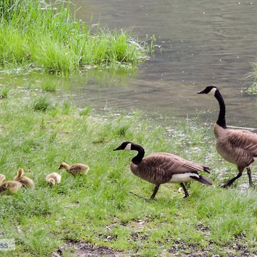 busy parents keeping up with curious goslings