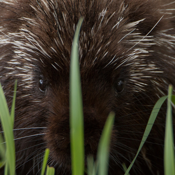 Playing Peek-a-boo in the long grass with a Porcupine