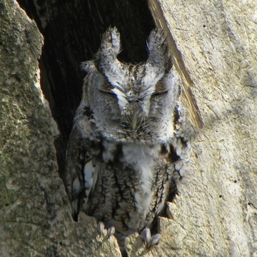 Hooty the Screech Owl
