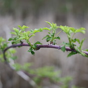 Budding branches