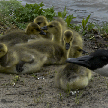 New crop of Canada Geese