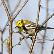 Black-throated Green Warbler??