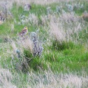 Meadow Larks