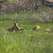 Four playing red fox kits