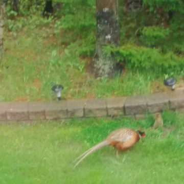 Pheasant and Squirrel