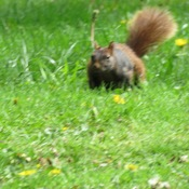 Half Black and Half Brown Squirrel