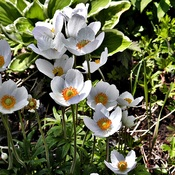 May Flowering Anemone Compliments Tulips and Late Daffodils