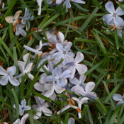 Lilac petals in the grass.