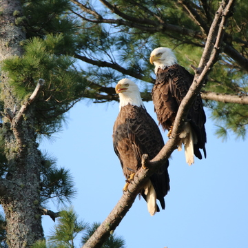 Mom and Dad eagles