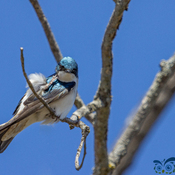 Tree Swallow's itch