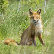 My Friend Ginger the Red Fox