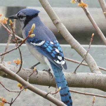 Budding trees and blue jays!