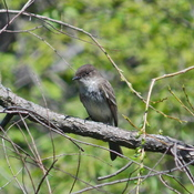 Olive-Sided Fly Catcher