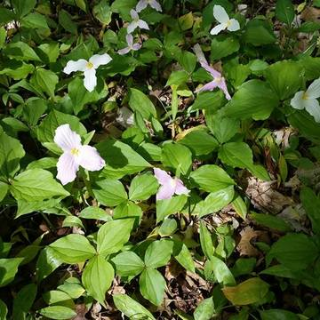 Purple Trilliums
