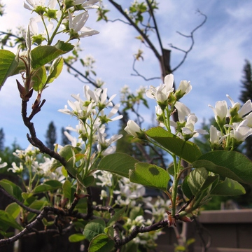 Early May Saskatoons
