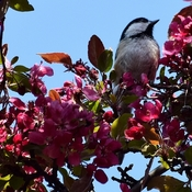 In my Crab Apple Tree