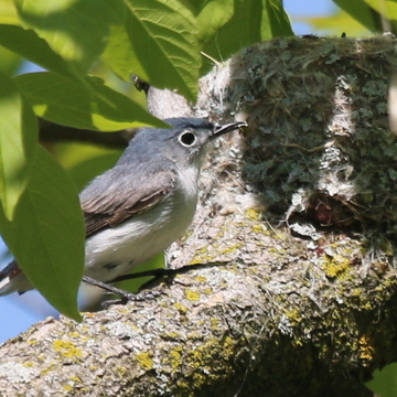 Blue-gray Gnatcatcher and nest