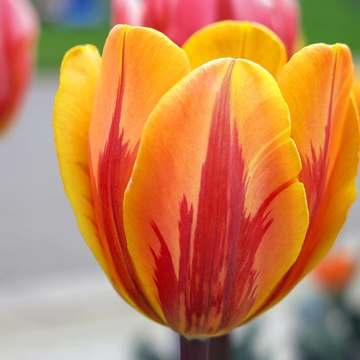 Maple Leaf Tulip