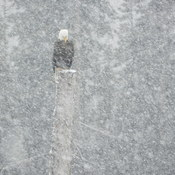 Eagle in snowstorm