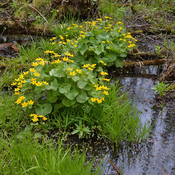 Marsh Marigolds.