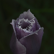 A frilly Tulip!