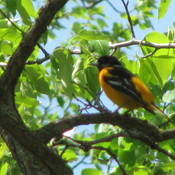 Orioles at Stephenfield, Manitoba