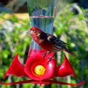 Not only Hummingbirds use Hummingbird feeder ?!