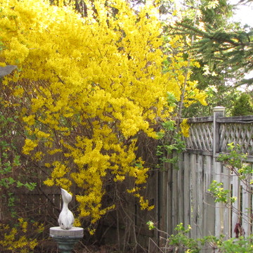 Forsythia Magnolia Sunset Trio