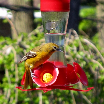 Female Oriole visit to Hummingbird feeder