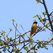 Oriole in my Apple Tree
