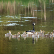 Canada Goose with her 15 Goslings!!