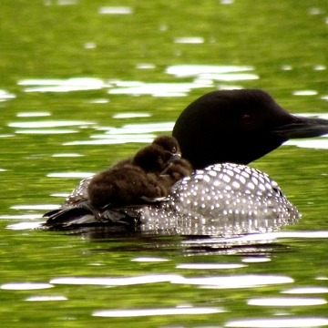 LOON CHICKS HITCH RIDE!!
