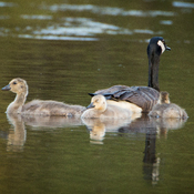 Canada Goose with her Goslings
