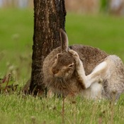 Busy Hare