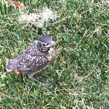 Baby robin. Out for a trial flight