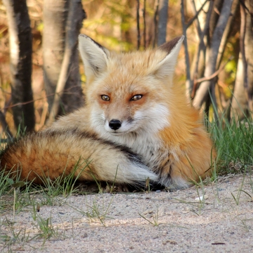Furry friend visits us in Algonquin Park