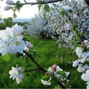When It's Apple Blossom Time in Annapolis Valley