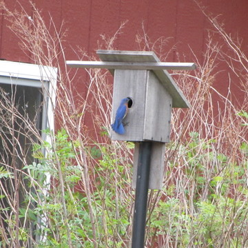 Eastern blue bird in East Ferris