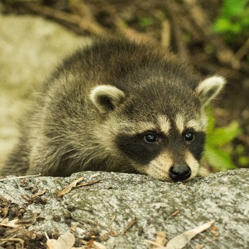 Raccoon Cubs