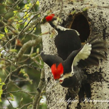 Male - Female Pileated woodpeckers changing of the guards