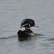 Male Wood Duck!