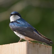 Tree Swallow!