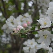 Apple Blossom in summer