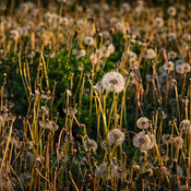 Dandelion Invasion