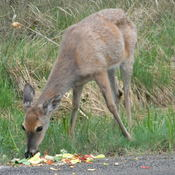 hungry deer