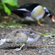 Baby wood duck ... growing