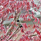 Hummingbird In Leafing Japanese Maple